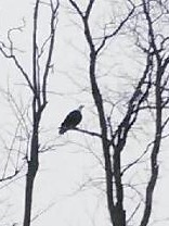 Just another reason to stop bye Valley Cabinets Inc in Montgomery NY!! Not only are we amazing custom kitchen and bath cabinetry, but a Bald Eagle hangs out here!!! WOW!!!